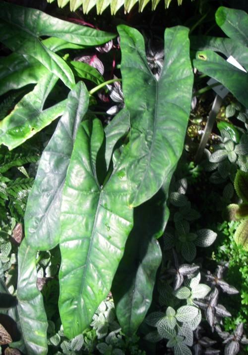 Alocasia heterophylla 16089557310_9b15a1065a_o
