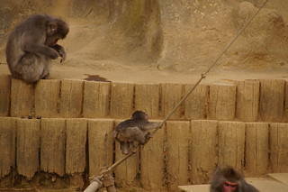025 Japanse makaken