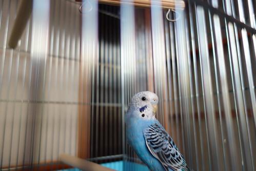 Budgerigar_Ico_(2014_07_27)_2 青いセキセイインコを撮影した写真。鳥籠の止まり木に止まって振り返っている。