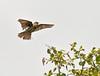 Skovpiber (Anthus trivialis) - Tree Pipit - Baumpieper by Søren Vinding