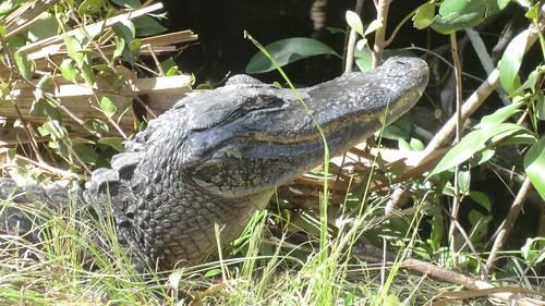 Alligator in Big Cypress Wilderness