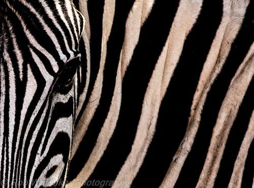 africa sunset blackandwhite sun abstract canon mammal stripes creative surreal safari westafrica zebra namibia animalplanet etosha angola sossusvlei southernafrica africanwildlife namibdesert burchellszebra wildlifephotography halali canonphotography etoshanationalpark burchell namibnaukluftnationalpark africaportrait robertwhittaker etoshanamibia oshikoto namibiaoverland africaphotography sossusvleipan canonwildlife swafrica abstractafrica sazzoo robwhittaker robwhittakerphotography eos300mmf4 sazzoocom robertwhittakerphotography oasisafrica ©robwhittakerphotography nambiaphotography
