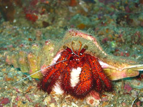 Hermit Crab, Sabang, Puerto Galera