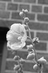 A Flower Grows