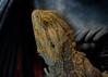 20160824-10_ Bearded Dragon Lizard