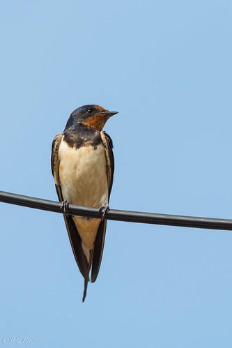 Golondrina común / Barn swallow / Hirundo rustica
