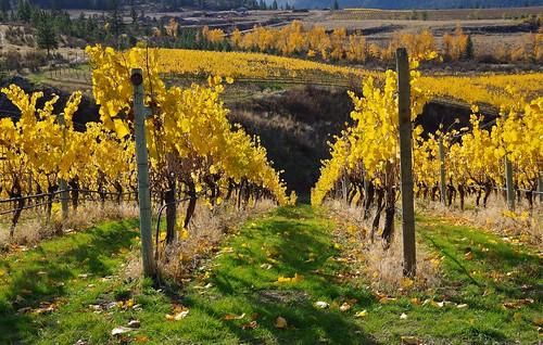 plant canada nature landscape vines pentax britishcolumbia okanagan grape okanaganfalls k30 nigeldawson smcpentaxda18135mmf3556edalifdcwr jasbond007 copyrightnigeldawson2014