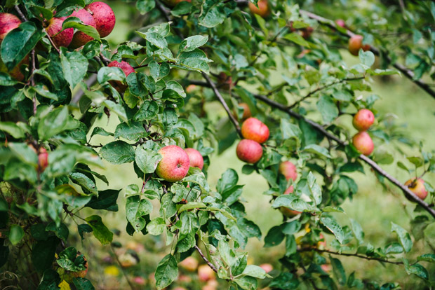 Hereford apple trees cider Bulmers by Sarka Babicka Photography