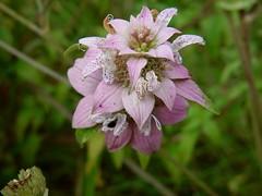 Spotted beebalm (Monarda punctata)