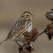 Savannah Sparrow Perched on Porcupine Eggs :) by Bonnie Ott