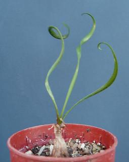 Albuca namaquensis et Albuca spiralis - Page 2 15697025669_16b33c001f_n
