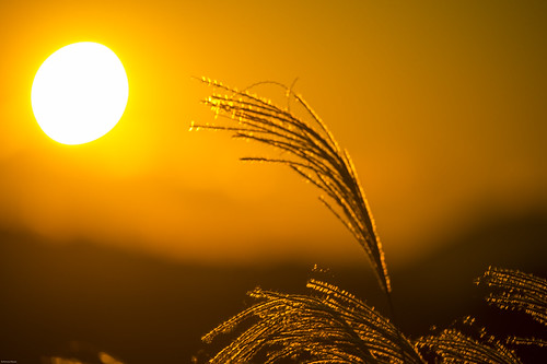 sunset sun japan 夕陽 日本 su 夕景 太陽 すすき 夕焼け 千葉県 落日 ススキ 房総半島 薄 鴨川市 嶺岡 西野尻