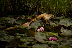 Lotus Blooms and Lily pads