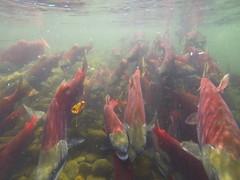 salmon Run Oct 19-2014