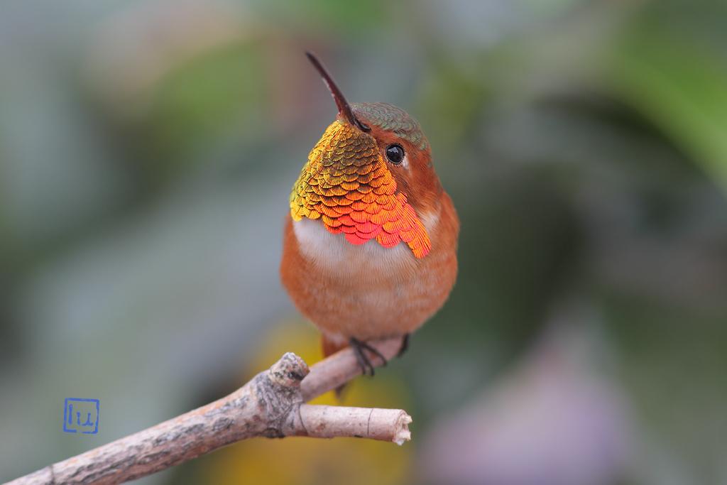 Allen's Hummingbird-112114