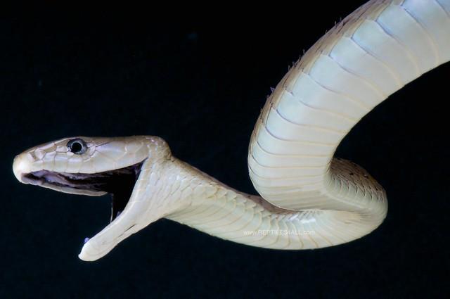 Black mamba attack / Dendroaspis polylepis