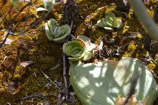 Crassula tomentosa クラッスラ トメントーサ