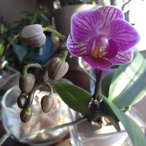 More blooms! Second of four mini ice orchids flowers :)