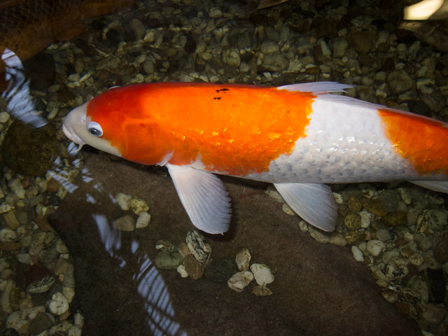 orange and white koi flickr photo sharing