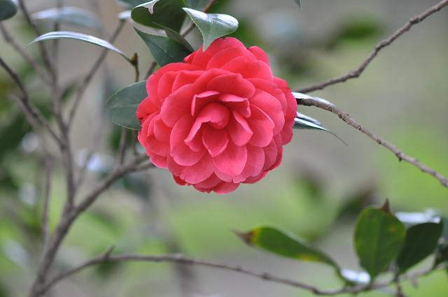 義民廟茶花 (2)