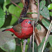 Small photo of African Firefinch, Sakania, DR Congo