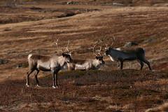 antelope(0.0), gemsbok(0.0), waterbuck(0.0), oryx(0.0), gazelle(0.0), animal(1.0), prairie(1.0), deer(1.0), plain(1.0), herd(1.0), fauna(1.0), white-tailed deer(1.0), savanna(1.0), grassland(1.0), safari(1.0), wildlife(1.0),