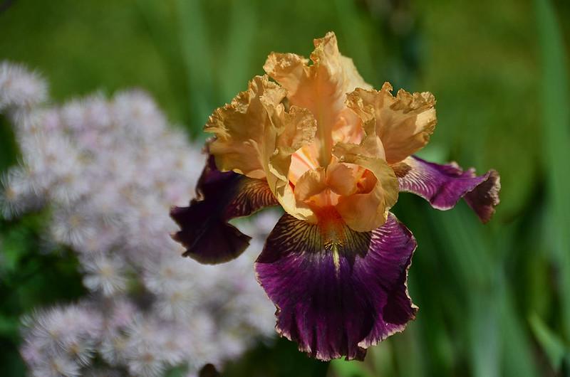 schreiners-iris-9