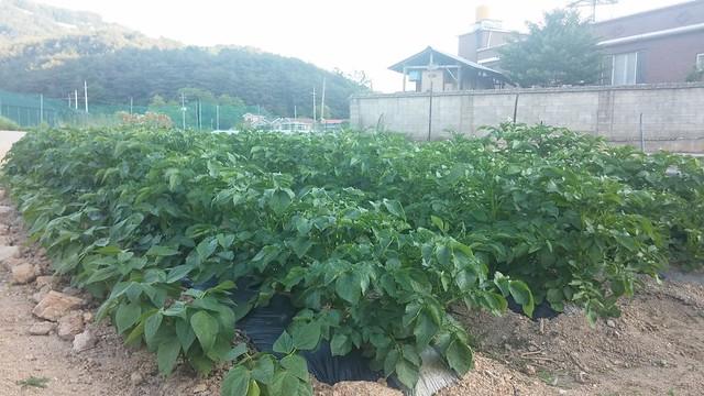 마당밭 감자밭