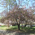 Cherry Blossoms, Branch Brook Park, 2016 - 4