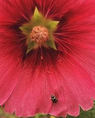 #⭐️#🌺#🐞#蜀葵#端午锦#hollyhock#beetle#ladybug#瓢虫#花#flower##shanghai#上海#vscocam