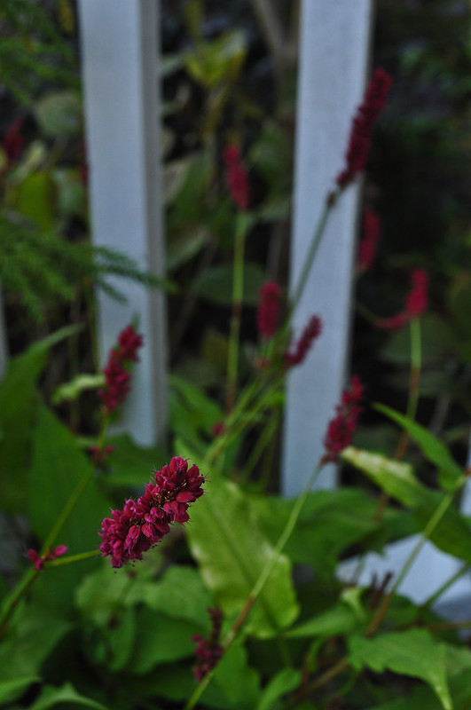 Persicaria amplexicaulis 'Golden Arrow' (1)