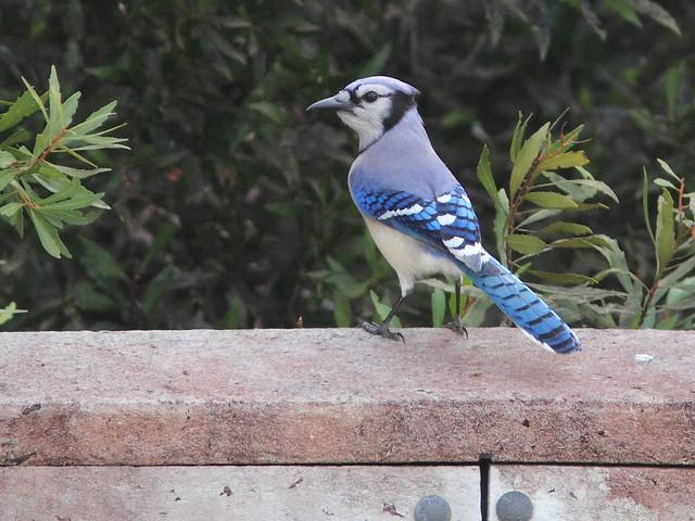 Blue Jay 20141118