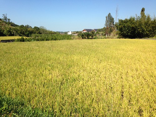 石虎田Ⅱ。林義雄競選楓樹里長,將耕種經驗轉化成政見,讓石虎米成為當地永續產業。