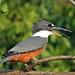 Ringed Kingfisher  Brazil  9999_206aa by wildphilip