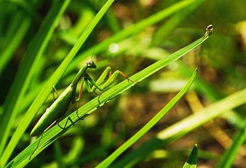 nature mantis spider hungary comic natur spinne ungarn balaton magyarorszag zala plattensee gottesanbeterin mantisreligiosa zalamegye elkaypics zalakomitat lutzkoch szenrpéterúr