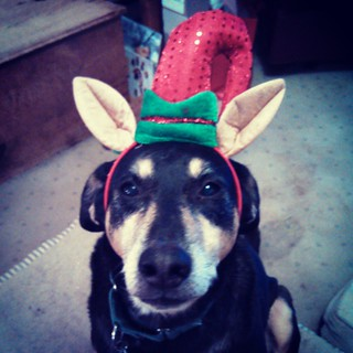 We shopped for some antler replacements today... and present to you, Teutul the Christmas Elf! #dogstagram #instadog #rescued #coonhoundmix #ilovemydogs #Christmas #antlers #seniordog #ilovemyseniordog