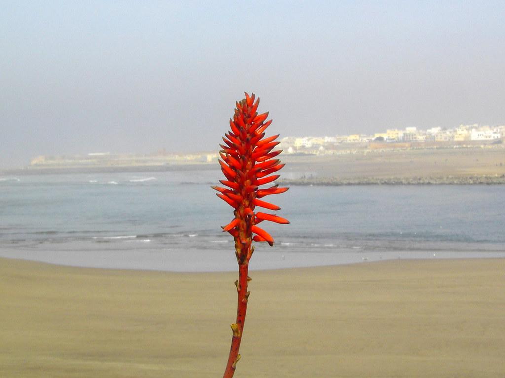 La flor de Rabat