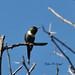Sparkling-tailed Woodstar por cjlloyd2078