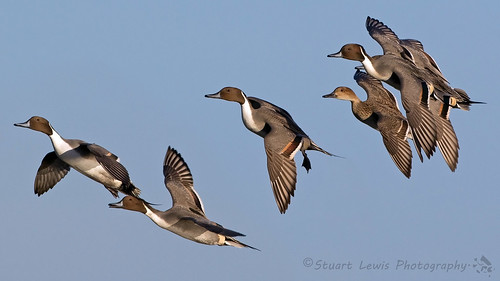 PINTAILS | by Stuart Lewis Photography
