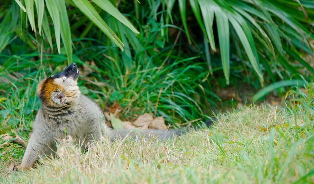Common Brown Lemur (Eulemur fulvus)_26