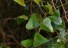 Rough Bindweed (Smilax aspera) leaves