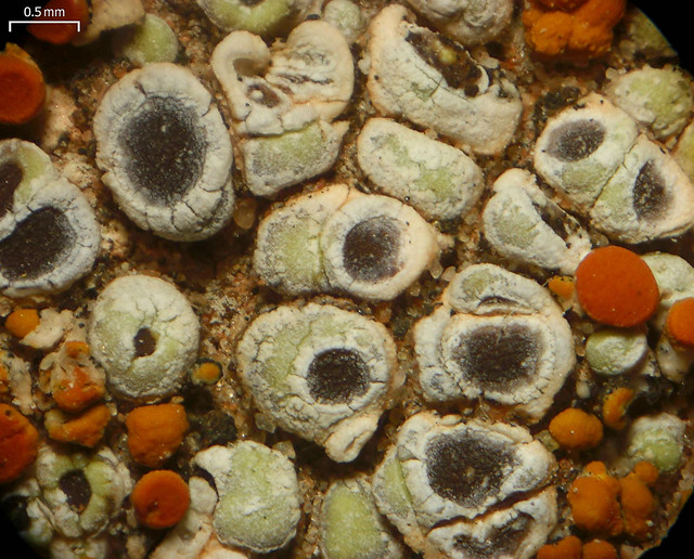 Header of Acarospora stapfiana