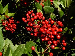 evergreen(0.0), shrub(0.0), flower(0.0), tree(0.0), crataegus pinnatifida(0.0), aquifoliaceae(0.0), aquifoliales(0.0), hawthorn(0.0), lingonberry(0.0), berry(1.0), acerola(1.0), leaf(1.0), red(1.0), plant(1.0), flora(1.0), produce(1.0), fruit(1.0), food(1.0), schisandra(1.0), rowan(1.0),