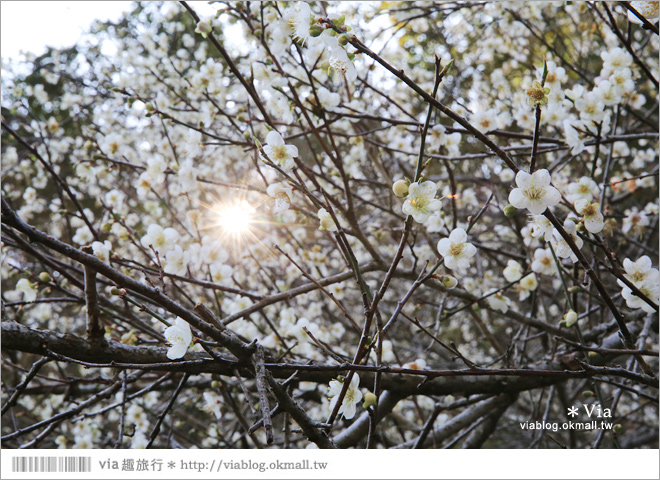 【柳家梅園】大人氣的賞梅景點!牛稠坑「柳家梅園」新私房賞梅步道5