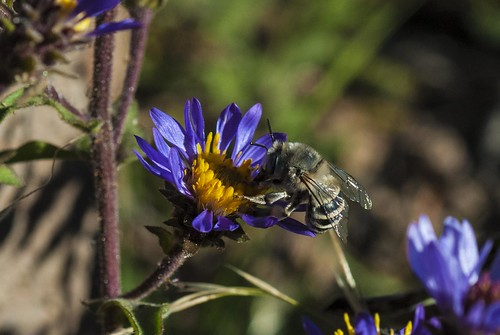 california flower insect purple bee wildflower asteraceae arthropod hymenoptera modoccounty apoidea asterales pattersonlake hesperapis dasypodainae hesperapini hairyfootedbee southwarnerrange melttidae