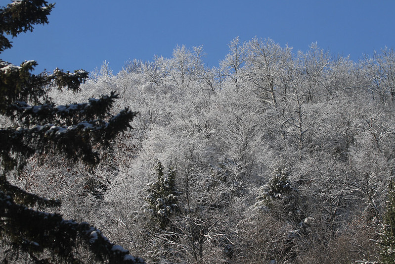 icy treetops2