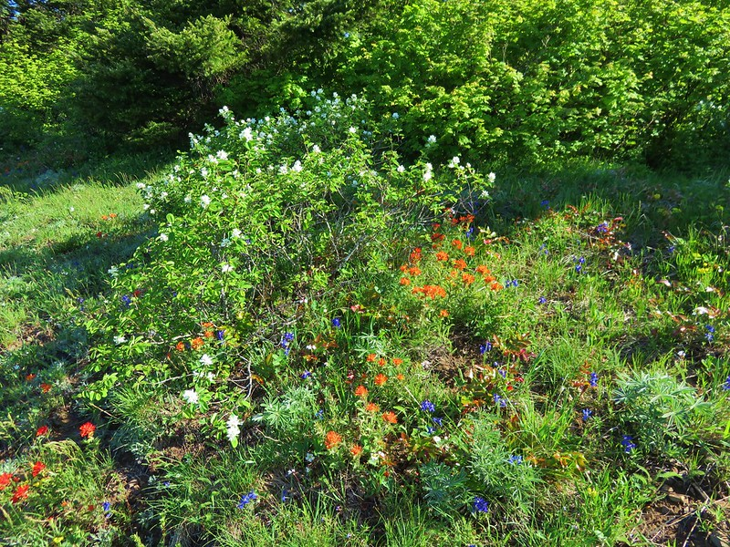 Serviceberry, paintbrush and larkspur