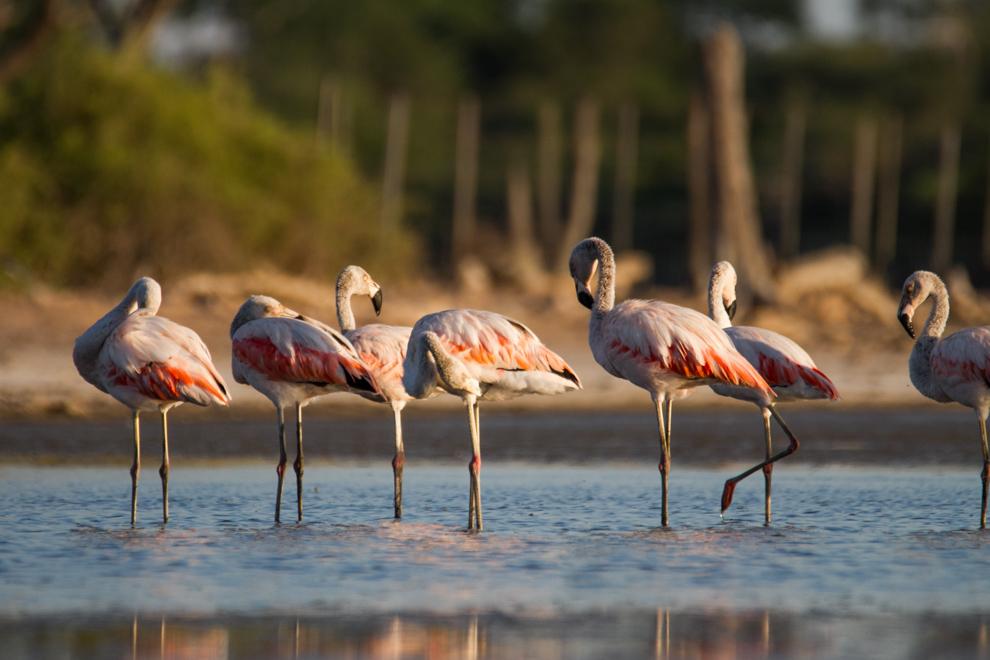 A pesar de que los flamencos visitan las lagunas saladas del chaco principalmente en los meses de Julio y Agosto, aún quedan pocos ejemplares en Laguna Capitán durante el resto del año. (Tetsu Espósito).