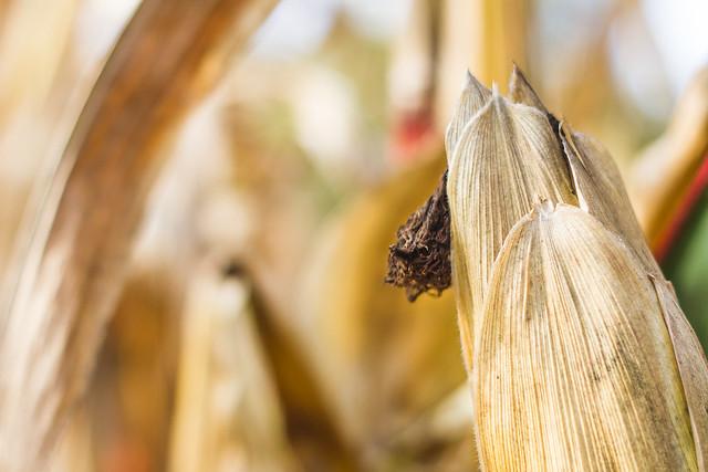 [209] Corn