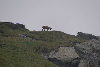 131 Steenbok